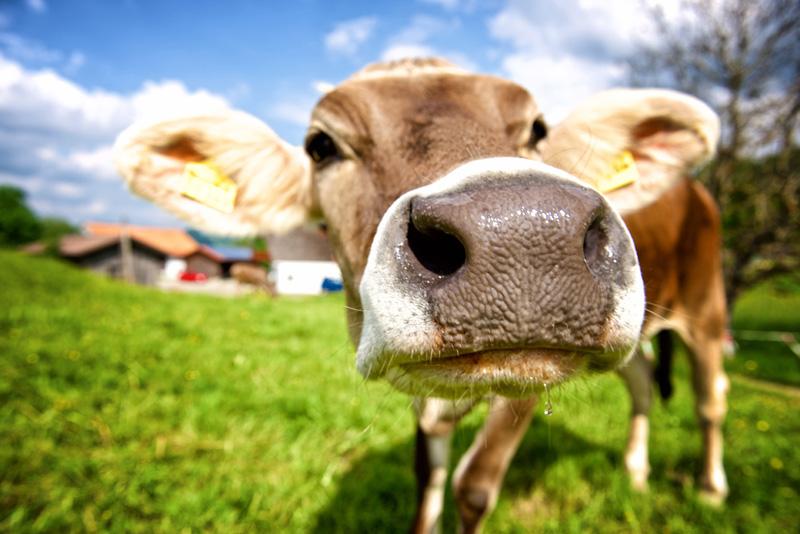 Starennest Kühe
