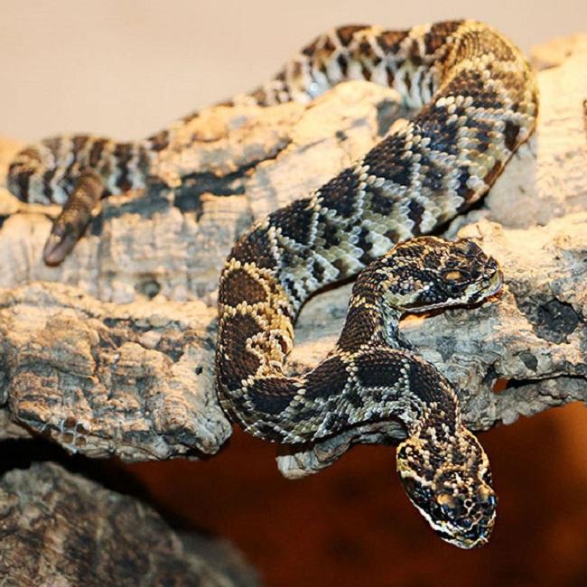 Natursensation zweiköpfige Schlange Reptilienzoo Scheidegg